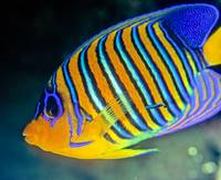 Peacock Angelfish with Cleaner