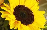 Huge Yellow Sun Flower, Close Up_1850