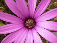 Lavender African Daisy, Close Up_1720