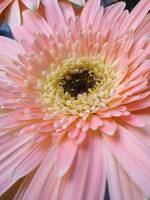 Pink Gerbera Daisy, Close Up Vertical_2513