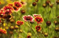 Gaillardia Flowers in the Sun