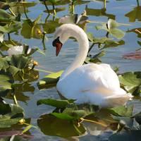 Sweet Swan by Carol Groenen