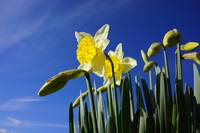 Daffodils Flowers art prints Spring Blue Sky