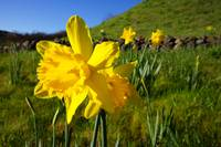 Daffodil Flowers Green Spring meadow hillside