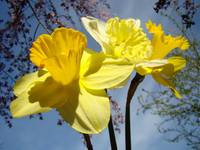 Blue Twilight Sky Spring Daffodil Flowers Yellow
