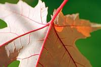 red veins of a leaf