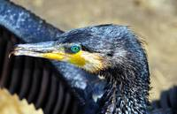 Cormorant Drying