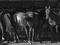 Horses in the Barn, black and white horse photo