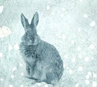 Snow Bunny, animal photograph.