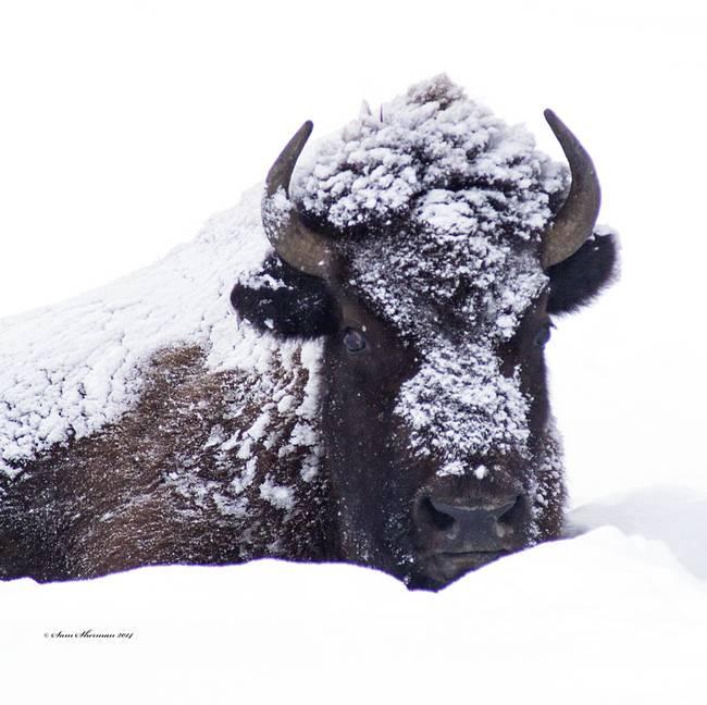 Bison.Yellowstone_MG_1671
