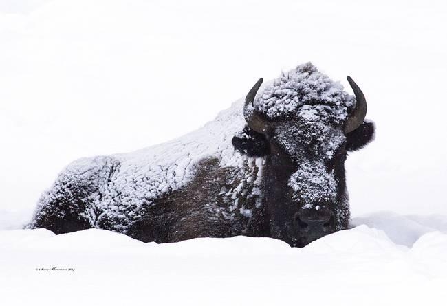 _Bison.Yellowstone.MG_1672