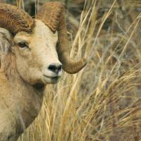 """Big Horn Ram, animal photograph"" by montanaartist"