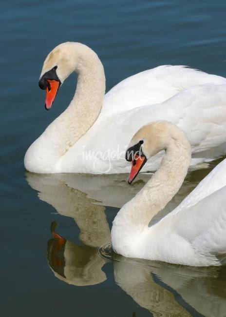 Mute Swan Pair Profile 178