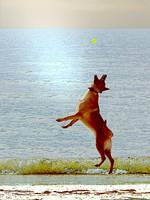 Malinois Dog Beach Ball by Robin Amaral
