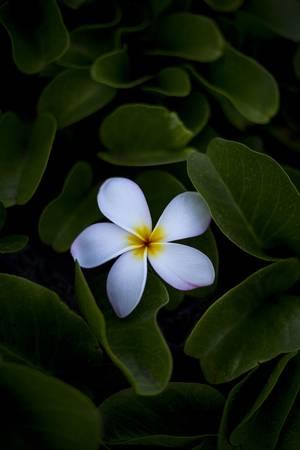 Pua melia Hawaii