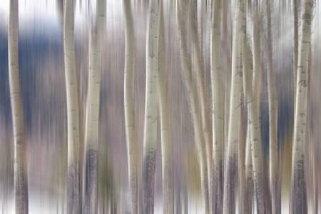 Rocky Mountain Winter Aspen Tree Forest Dream