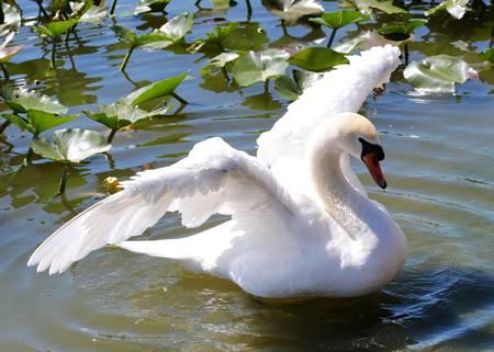 Beautiful Swan Wings