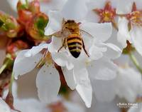 Bee on Prunus Flowers by Robin Amaral
