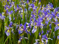 Mountain Blue Irises after Weathering a Storm