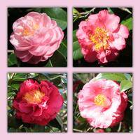 Camellia Collage by Carol Groenen