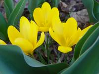 Yellow Spring Crocus