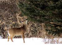 Evergreen Deer