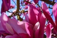 Magnolia Tree Flowers Blooming Art Prints Spring