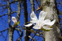 Magnolia White 4M Magnolias Tree Flowers art print