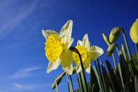 Srping Blue Sky White Clouds Daffodils Garden