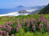 Lupines Along the California Coastline