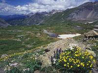 Snow Cinquefoil and Colorado Columbine, Mount Snef