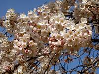 Cherry Blossoms in Closeup, March 2013
