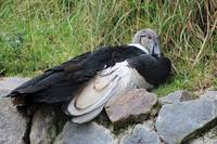 Andean Condor on a Rock
