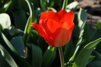 RED Tulip Flowers Art Prints Giclee Canvas