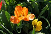 Orange Tulip Flower Prints Spring Garden