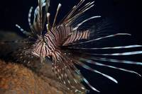Red Lionfish flares its deadly spines