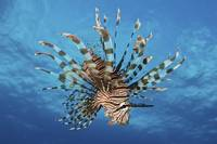 Lionfish displays its poisonous spines, FIji