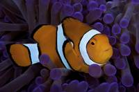 False Ocellaris Clownfish in its host anemone, Pap