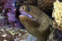 Close-up view of a Goldentail Moray Eel, Bonaire,