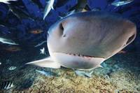 A large bull shark bumps the photographers camera,