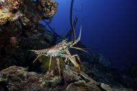 A common spiny lobster backs his way into the prot
