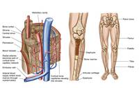 Anatomy of human bone marrow