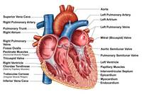 Anatomy of heart interior, frontal section