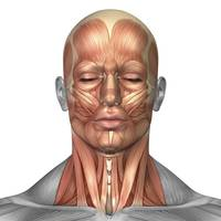 Anatomy of human face and neck muscles, front view