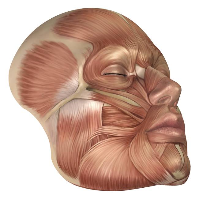 Stunning Facial Muscles Artwork For Sale On Fine Art Prints