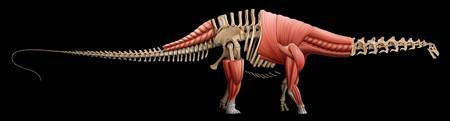 Apatosaurus skeleton and muscles