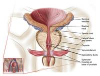 Anatomy of prostate gland