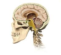 Cutaway view of human skull showing brain details,