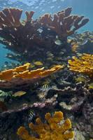 Tropical fish take refuge amongst Elkhorn Coral