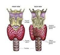 Anatomy of thyroid gland with larynx